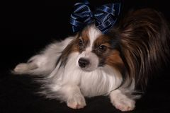 Beautiful dog Continental Toy Spaniel Papillon with blue bow on his head on a black background. Beautiful dog Continental Toy Spaniel Papillon with a blue bow on Royalty Free Stock Images