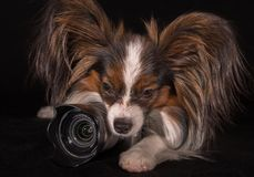 Beautiful dog Continental Toy Spaniel Papillon with camera on black background. Beautiful dog Continental Toy Spaniel Papillon with camera on a black background Royalty Free Stock Photo