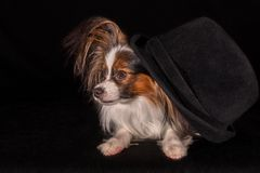 Beautiful dog Continental Toy Spaniel Papillon in felt hat on a black background royalty free stock photo