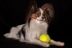 Beautiful dog Continental Toy Spaniel Papillon with a tennis ball on black background. Beautiful dog Continental Toy Spaniel Papillon with a tennis ball on a Stock Image