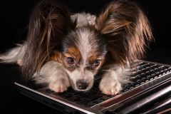 Beautiful dog Continental Toy Spaniel Papillon tired of working in laptop on black background. Beautiful dog Continental Toy Spaniel Papillon tired of working in Royalty Free Stock Photos