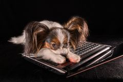 Beautiful dog Continental Toy Spaniel Papillon tired of working in laptop on black background. Beautiful dog Continental Toy Spaniel Papillon tired of working in Stock Images