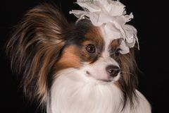 Beautiful dog Continental Toy Spaniel Papillon with white bow on his head on a black background. Beautiful dog Continental Toy Spaniel Papillon with a white bow Royalty Free Stock Photography