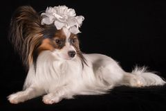 Beautiful dog Continental Toy Spaniel Papillon with white bow on his head on a black background. Beautiful dog Continental Toy Spaniel Papillon with a white bow Stock Images