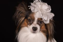 Beautiful dog Continental Toy Spaniel Papillon with white bow on his head on a black background. Beautiful dog Continental Toy Spaniel Papillon with a white bow Stock Photography