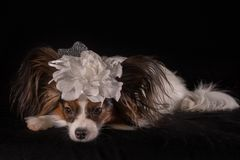 Beautiful dog Continental Toy Spaniel Papillon with white bow on his head on a black background. Beautiful dog Continental Toy Spaniel Papillon with a white bow Royalty Free Stock Photo