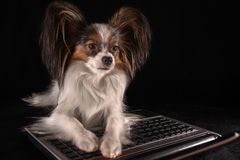 Beautiful dog Continental Toy Spaniel Papillon working in laptop on black background Royalty Free Stock Photography