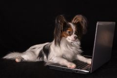 Beautiful dog Continental Toy Spaniel Papillon working in laptop on black background. Beautiful dog Continental Toy Spaniel Papillon working in laptop on a black Royalty Free Stock Photo