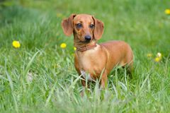 Beautiful dog of dachshund Royalty Free Stock Photo