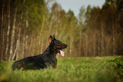 Beautiful dog Doberman lying in the summer Stock Photo