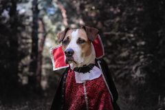 Beautiful dog dressed up as vampire in dark moonlit forest. Cute. Staffordshire terrier puppy in halloween costume of scary vampire in the woods, shot in low royalty free stock image