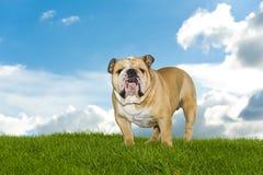Beautiful dog english bulldog outdoors Royalty Free Stock Image