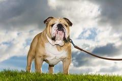 Beautiful dog english bulldog outdoors Stock Images