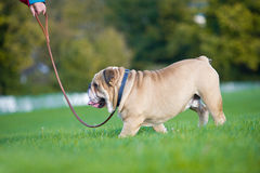 Beautiful dog english bulldog outdoors walking royalty free stock photo