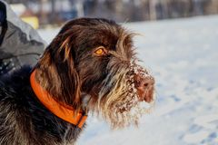 A beautiful dog face full of snow watching deers in nature. Brown female dog of Bohemian Wire-haired Pointing Griffon or korthals. Griffon. Czech race. Czech royalty free stock photo