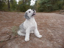 Beautiful dog in the forest and dunes. Prachtige hond, Polski owczarek nizinny in the  dunes and forest Stock Photos