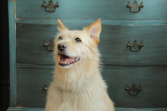 Beautiful dog in front of dresser. Dog stands proud in front of blue dresser Royalty Free Stock Photo