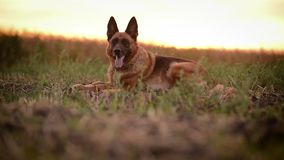 Beautiful dog German Shepherd laying in field