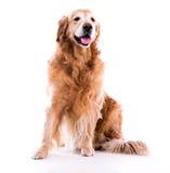 Beautiful dog golden retriever sitting down Stock Photos