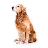 Beautiful dog golden retriever sitting down Royalty Free Stock Photo