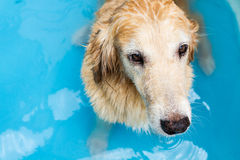 Beautiful dog golden retriever sitting down on the swimming pool Royalty Free Stock Images
