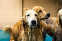Beautiful dog golden retriever sitting down on the swimming pool Royalty Free Stock Photography