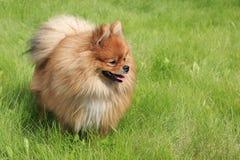 Beautiful dog on green grass Stock Photos