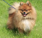 Beautiful dog on green grass Royalty Free Stock Images