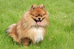 Beautiful dog on green grass Royalty Free Stock Photo