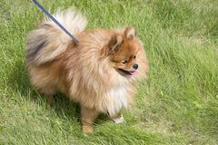 Beautiful dog on green grass Royalty Free Stock Photos