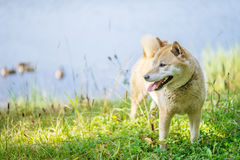 Beautiful dog Royalty Free Stock Images
