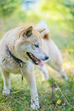 Beautiful dog Stock Photography