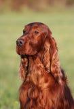 Beautiful Dog Head Stock Photos