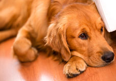 Beautiful dog at home Stock Image