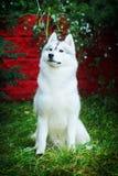 Beautiful dog husky sits Royalty Free Stock Photography