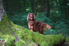 Beautiful dog Irish setter in summer portrait in forest Royalty Free Stock Photography