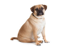 Beautiful dog Royalty Free Stock Photo