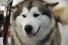 Beautiful dog laika is tied on a leash. Stock Photo