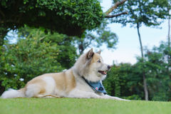 Beautiful dog laying down on the grass in the garden Royalty Free Stock Images