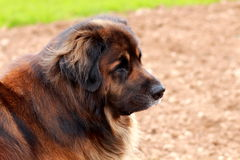 A beautiful dog (leonberger). A beautiful dog is watching something interesting Royalty Free Stock Photos