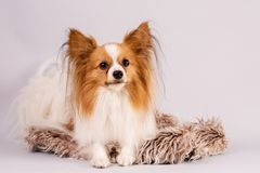 Beautiful dog lies on a shaggy rug