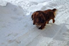 Beautiful dog long haired dachshund running in winter. Beautiful dog long haired dachshund stock images