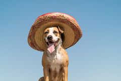 Beautiful dog in mexican traditional hat in sunny outdoors backg. Round. Cute funny staffordshire terrier dressed up in sombrero hat as mexico festive symbol or stock image