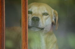 A puppy is peeking out to see who is at the door. Beautiful dog in NH is looking out the door to see how safe the person is at the door Royalty Free Stock Images