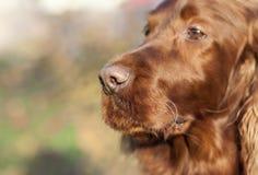Beautiful dog nose Stock Photo