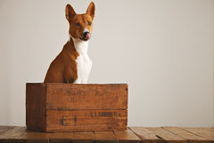 Beautiful dog with an old wooden box Stock Photography