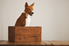 Beautiful dog with an old wooden box Stock Image