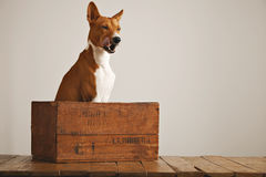 Beautiful dog with an old wooden box Stock Photos
