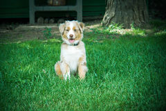A beautiful dog outdoor. A pretty puppy Australian shepherd in the grass Royalty Free Stock Image