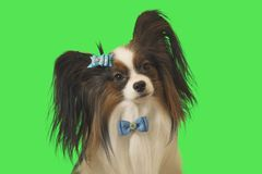 Beautiful dog Papillon with blue bow on green background